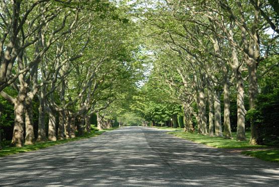 Southampton Beech Trees